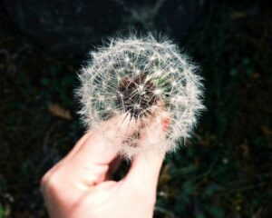 closeup of hand holding seeded dandelion